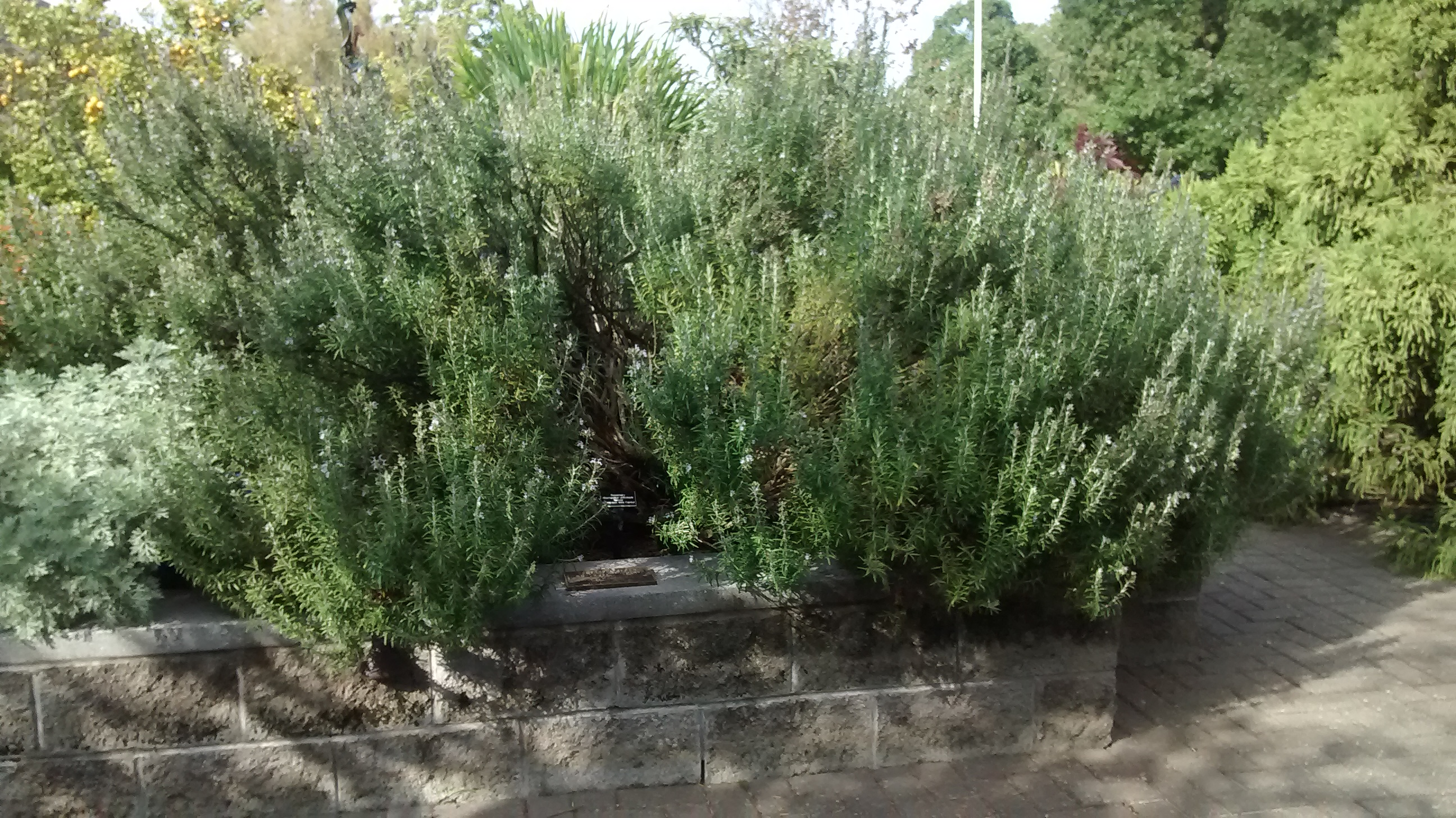A giant rosemary bush, Norfolk Botanical Garden, Norfolk, Virginia.